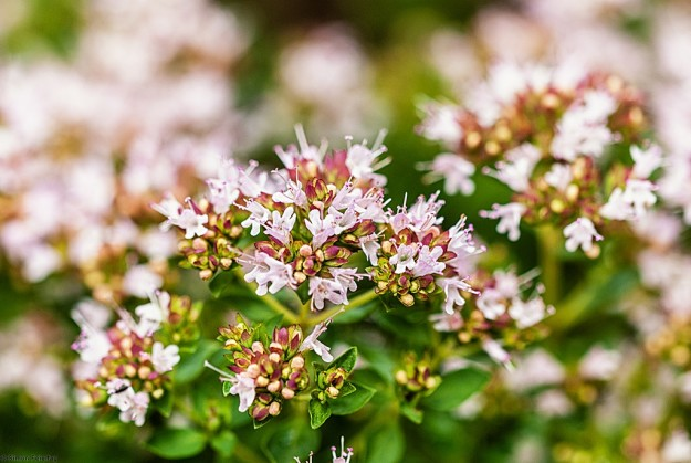 Origanum x majoricum - Kriechender Majoran