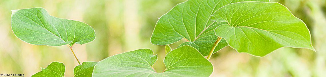 Piper auritum