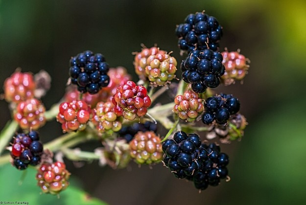 Rubus sp. - Brombeeren